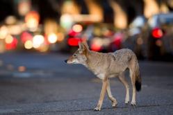 Urban Coyote Initiative (2016)